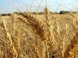 پیشبینی برداشت بیش از ۴۵ هزار تن گندم در نهاوند