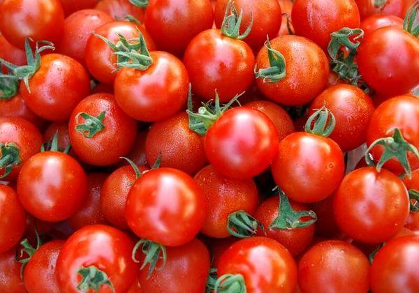 استان بوشهر؛ برداشت گوجه فرنگی خارج از فصل