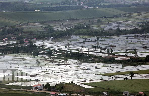 شالیزارهای روستای دودانگه در مازندران