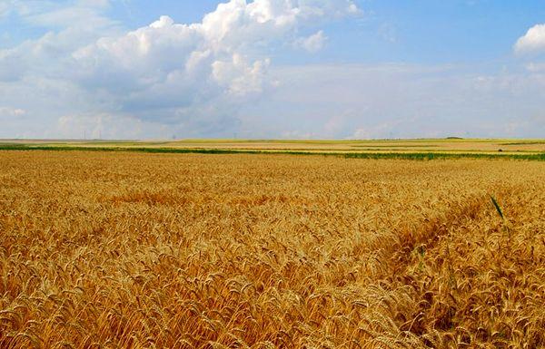 خرید تضمینی 664 هزارو 49 تن گندم در استان فارس