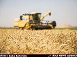 ۱۳ میلیون تن گندم امسال در کشور تولید می شود