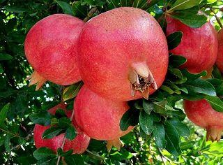 انار بیضاء آماده عرضه به بازار میوه