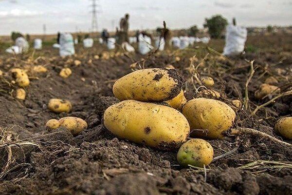 آغاز برداشت محصول سیب زمینی تولید پاییزه در استان اصفهان