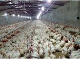 تخصیص  11 هزار تن نهاده دام و طیور بین مرغداران و دامداران اهر از ابتدای سال جاری
