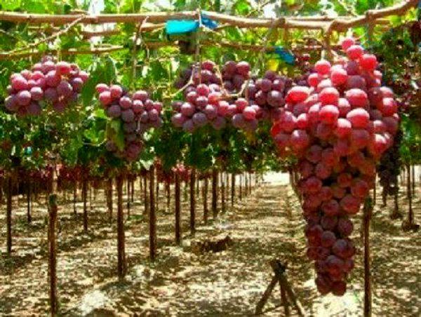 امسال ۷۲ هکتار باغ انگور داربستی در شهرستان کرمانشاه ایجاد میشود
