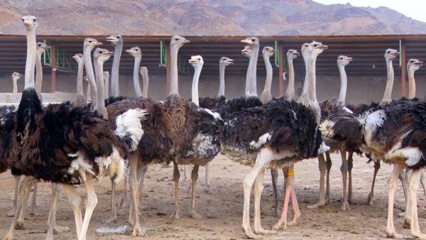 ظرفیت مناسب کرمان برای پرورش شتر مرغ