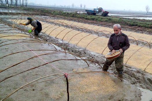 آغاز خزانه گیری برنج طبق تقویم زراعی در گیلان