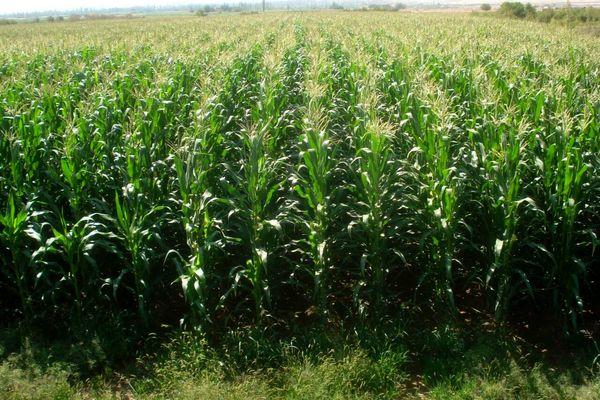 کاشت 3800 هکتار ذرت بذری