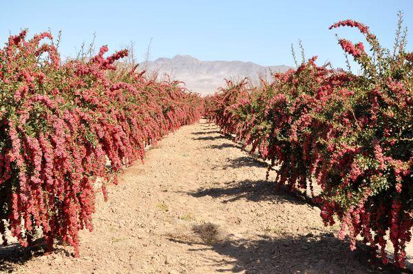 یک سوم محصول زرشک در خراسان جنوبی فراوری میشود