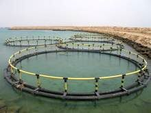 تولید دو هزار تن ماهی در قفس در استان بوشهر در سال ۱۴۰۰
