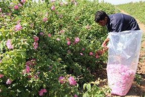 30 هکتار از اراضی کشاورزی شهرستان آبیک به گل محمدی اختصاص دارد