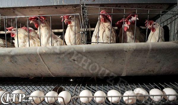 تولید 525 تن تخم مرغ در نیمه نخست سال جاری در خراسان شمالی