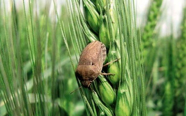 ورود آفت سن گندم به مزارع گندم شهرستان ارزوئیه در سال جاری