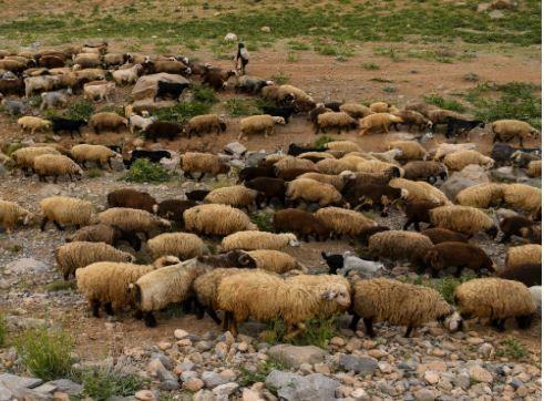 سرانه دام خانوارهای عشایری خراسان شمالی بیش از میانگین کشوری است