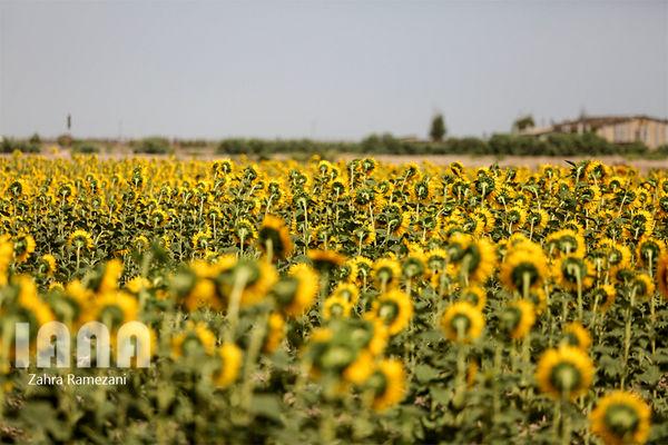 کشت آفتابگردان در 2698 هکتار از اراضی میامی؛ برداشت آفتابگردان از مزارع کالپوش میامی آغاز شد