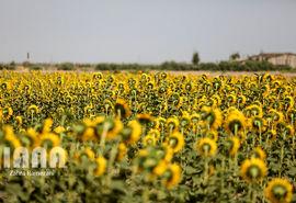 پیشبینی برداشت 11300 تن دانه آفتابگردان آجیلی از مزارع استان کرمانشاه