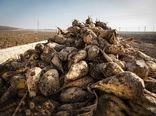 تولید بیش از 5 میلیون تن چغندرقند در کشت بهاره