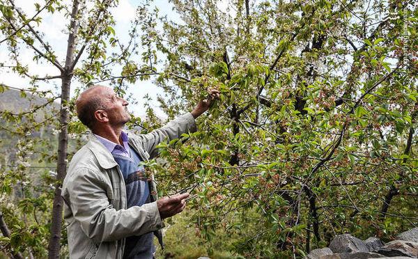 خسارت سنگین سرمای فروردینماه به بخش کشاورزی