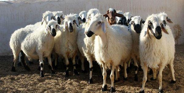 130 راس دام قاچاق در«کامیاران» کشف شد