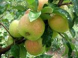 امسال  ۶۰۰ هزار تن محصولات باغی در قزوین تولید می شود
