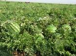 برداشت هندوانه از مزارع شهرستان ارزوئیه