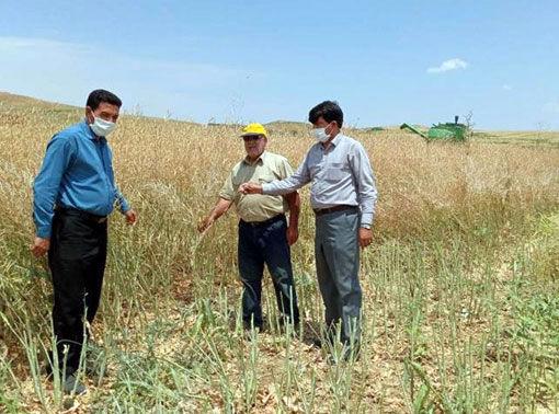 برداشت کلزای بذری هیبریدی هیدرومیل برای اولین بار در شهرستان هشترود