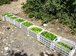 برداشت ۱۰۰ هزار تن لیموترش از باغات هرمزگان
