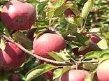 پیش بینی برداشت 200 هزار تن سیب درختی در سمیرم