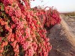 سالانه 24 تن زرشک از باغات استان کرمان برداشت میشود