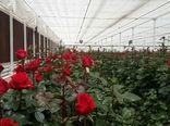 تولید 6 میلیون 500 هزار گل شاخه بریده در چهارمحال و بختیاری