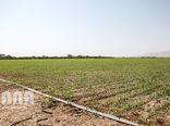 افزایش راندمان تولید گندم مستلزم بکارگیری شیوه مناسب کاشت است
