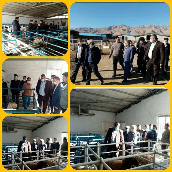 بازدید رئیس مرکز اصلاح نژاد دام کشور از دامداری اصلاح نژاد ۷۰۰۰ راسی در شهرستان جاجرم