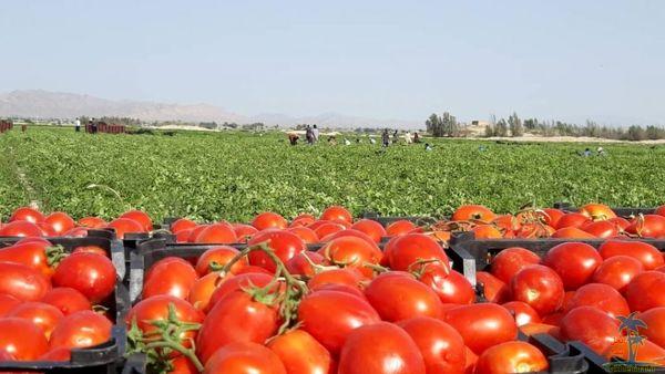 آغاز برداشت گوجه فرنگی از مزارع شهرستان بن/برداشت بیش از 100 تن گوجه از یک هکتار