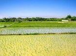 هیچ کشتی بر اساس معیارهای علمی جایگزین کشت برنج نمیشود