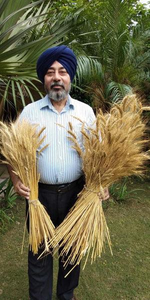 گندم رنگی جایگزین مناسبی برای گندم سنتی است