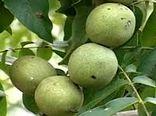 برداشت 13هزار تن گردو از باغات استان کرمان در سال جاری