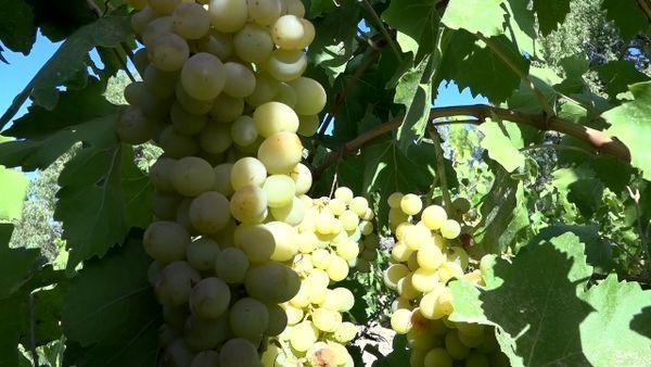 برداشت انگور از تاکستانهای فریدن