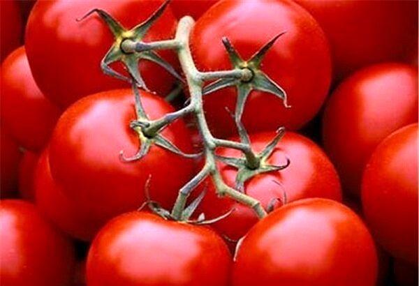 ۸۵۰۰ تن گوجه فرنگی تولیدی کردستان به صورت تضمینی خریداری شد