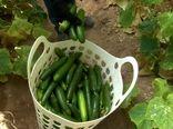 فصل برداشت خیار و سبزیجات گلخانهای در تابستانِ میمه