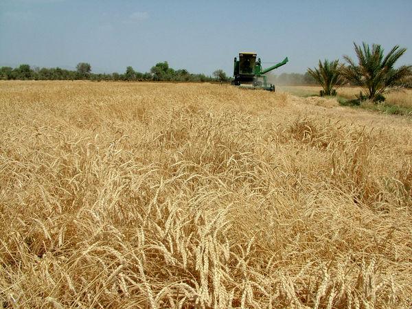 سهم ۳۱ درصدی به زراعی در افزایش تولید گندم