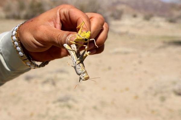 پایان مبارزه با آفت بین المللی ملخ صحرایی درسیستان وبلوچستان