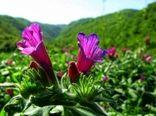 برداشت گیاهان دارویی در شهرستان بروجن آغاز شد