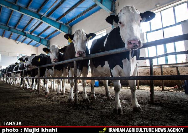 تولید 1.89 میلیون تن شیر و پرواربندی ٣٥٥ هزار رأس گاو و گوساله در دامداریهای کشور