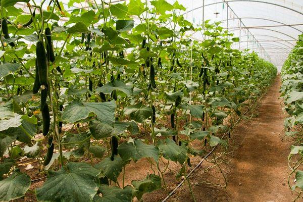 سالانه یک هزار و ۸۰۰ تُن محصول گلخانهای در سقز تولید میشود