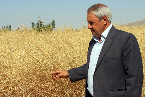 سایه سنگین  قهر طبیعی و خشکسالی بر میزان تولید گندم در شهرستان مرند