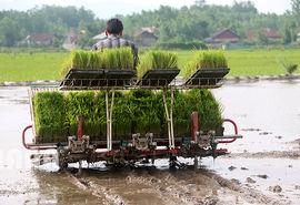 ارقام پر مصرف برنج خریدار ندارد