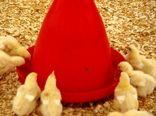 صدور 512 مجوز جوجه ریزی در ساری/تولید 15 هزار تنی گوشت سفید
