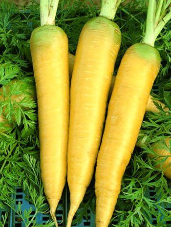 تولید هویج زرد ایرانی برای اولینبار در مرودشت