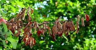 مشاهده بیماری آتشک در باغهای خراسان شمالی