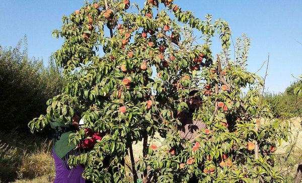 آذربایجان شرقی استان ششم تولید میوههای هستهدار